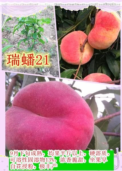 桃树管理视频_毛蟠桃树苗品种 - 九州红种苗